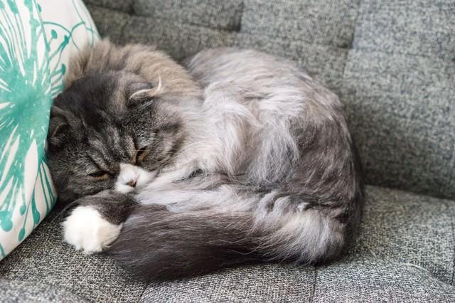 丸くなって寝てるオス猫(スコティッシュフォールド)の写真