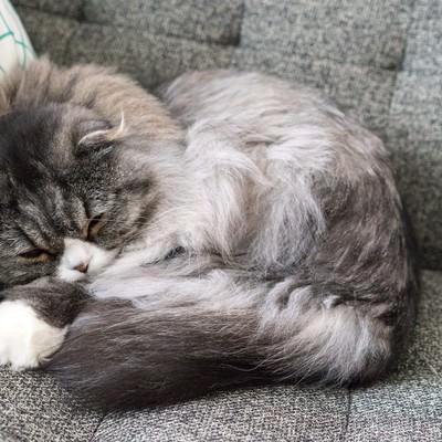 「丸くなって寝てるオス猫(スコティッシュフォールド)」の写真素材