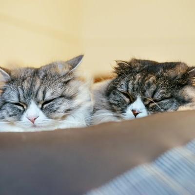 二匹で仲良くおやすみなさい(スコティッシュフォールド)の写真