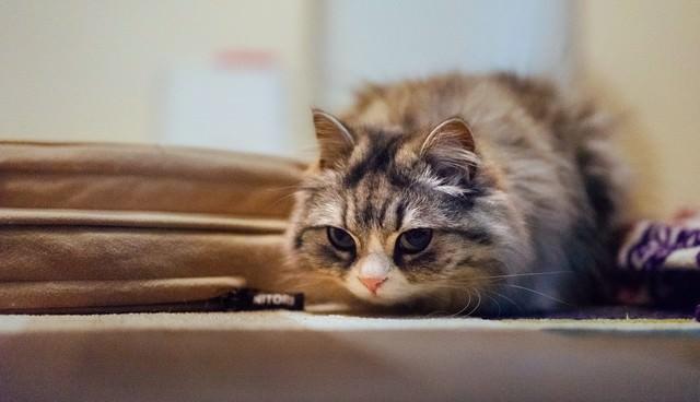 獲物を狙ってるメス猫(スコティッシュフォールド)の写真