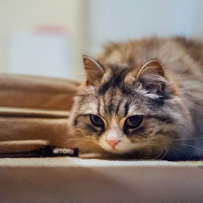 「獲物を狙ってるメス猫(スコティッシュフォールド)」の写真素材