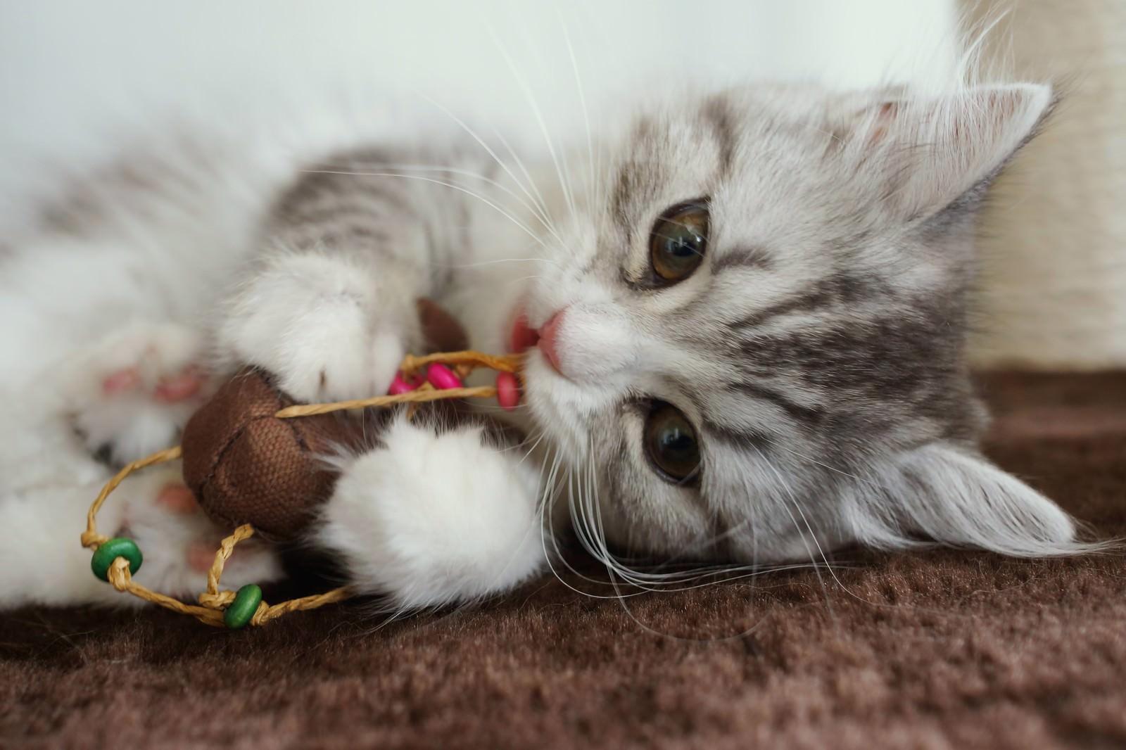 「ねずみのおもちゃとじゃれているメス猫(スコティッシュフォールド)ねずみのおもちゃとじゃれているメス猫(スコティッシュフォールド)」のフリー写真素材を拡大