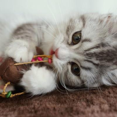 ねずみのおもちゃとじゃれているメス猫(スコティッシュフォールド)の写真
