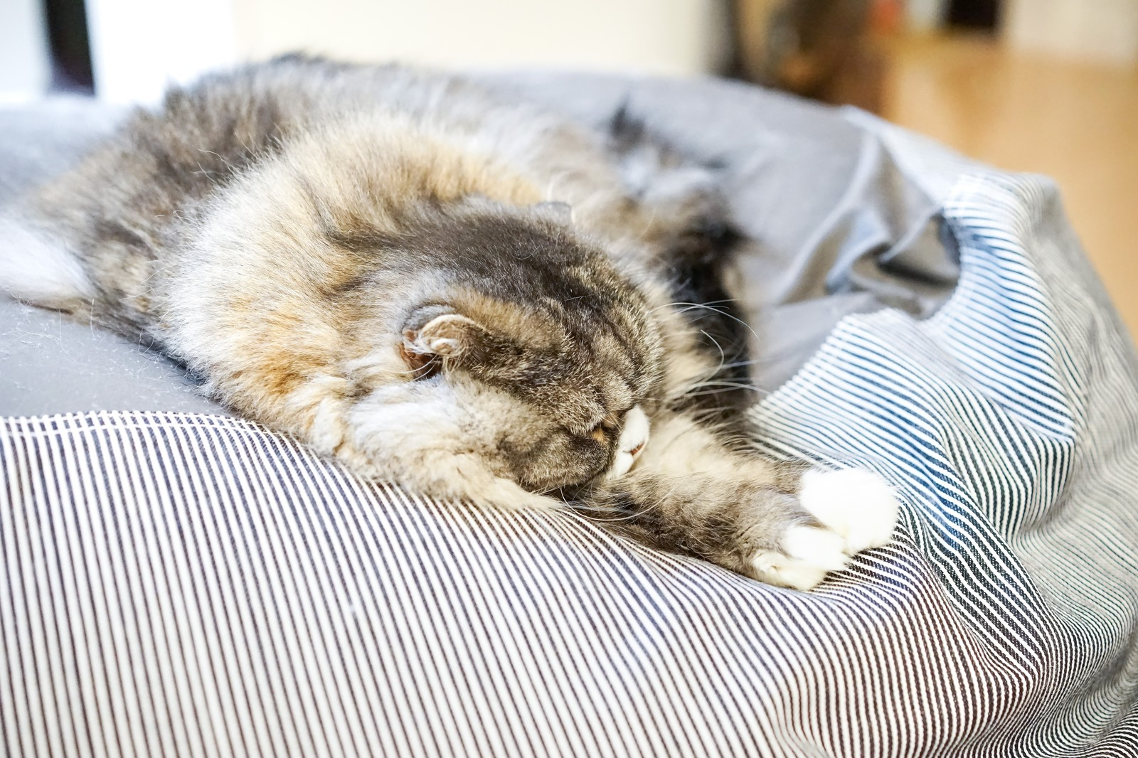 「昼間から図々しくソファーで寝転がるスコティッシュフォールド」の写真