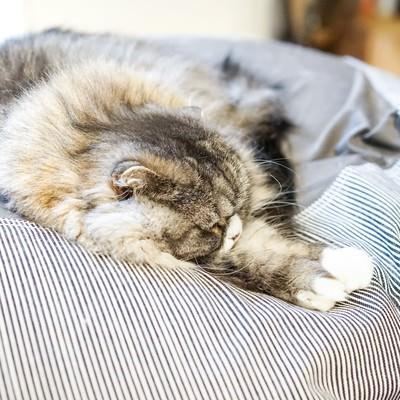 「昼間から図々しくソファーで寝転がるスコティッシュフォールド」の写真素材