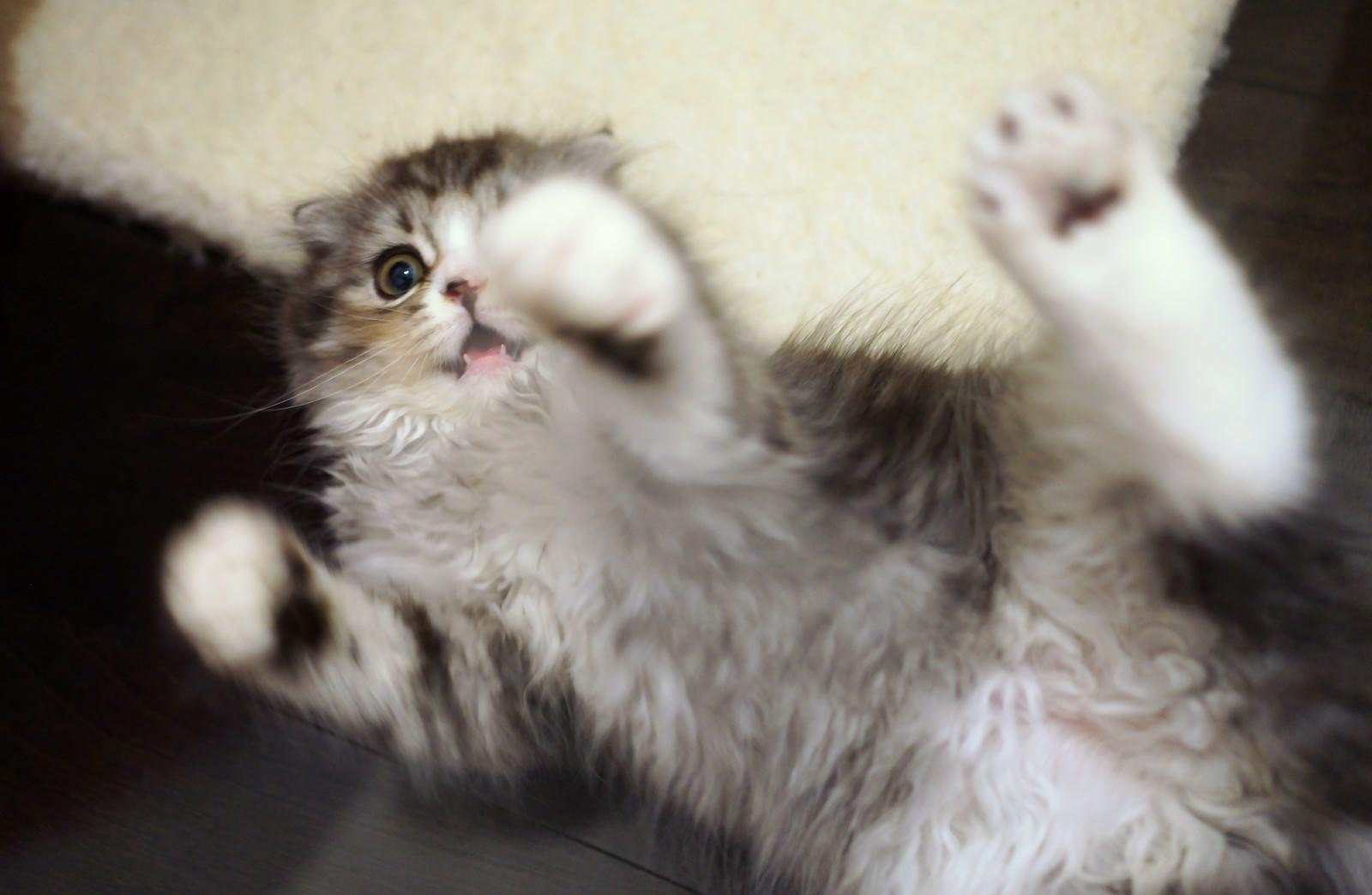 「寝ころびながらじゃれる猫寝ころびながらじゃれる猫」のフリー写真素材を拡大