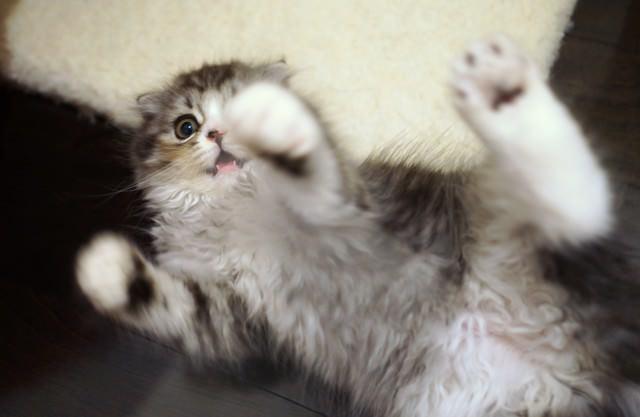 寝ころびながらじゃれる猫の写真