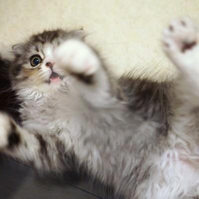 「寝ころびながらじゃれる猫」の写真素材