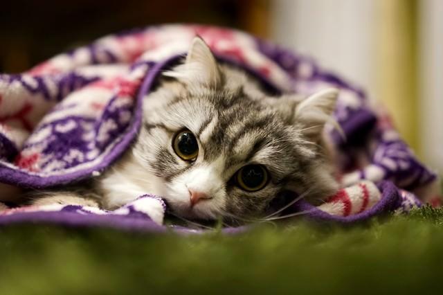 ブランケットにくるまってるメス猫(スコティッシュフォールド)の写真