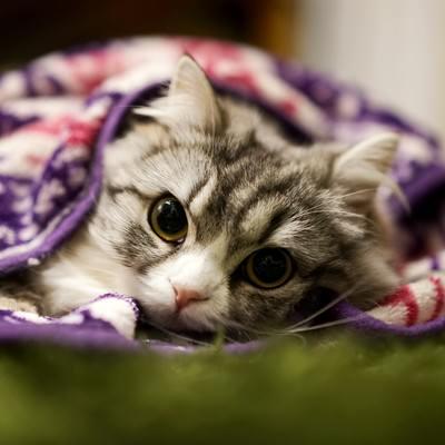 「ブランケットにくるまってるメス猫(スコティッシュフォールド)」の写真素材