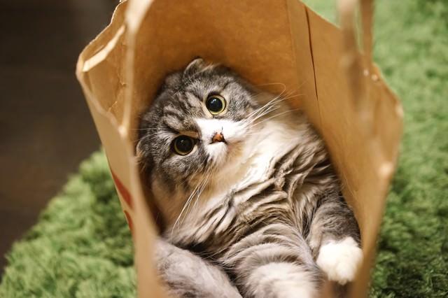 紙袋から出れそうなオス猫(スコティッシュフォールド)の写真
