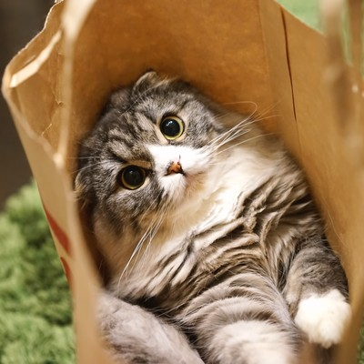「紙袋から出れそうなオス猫(スコティッシュフォールド)」の写真素材