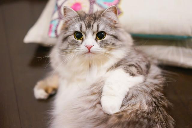 お手入れ中にこっちを見るメス猫(スコティッシュフォールド)の写真
