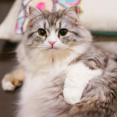 「お手入れ中にこっちを見るメス猫(スコティッシュフォールド)」の写真素材