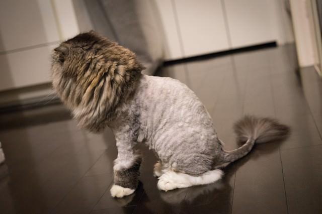 ライオンカットの猫(スコティッシュフォールド)の写真
