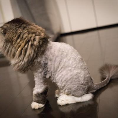 「ライオンカットの猫(スコティッシュフォールド)」の写真素材