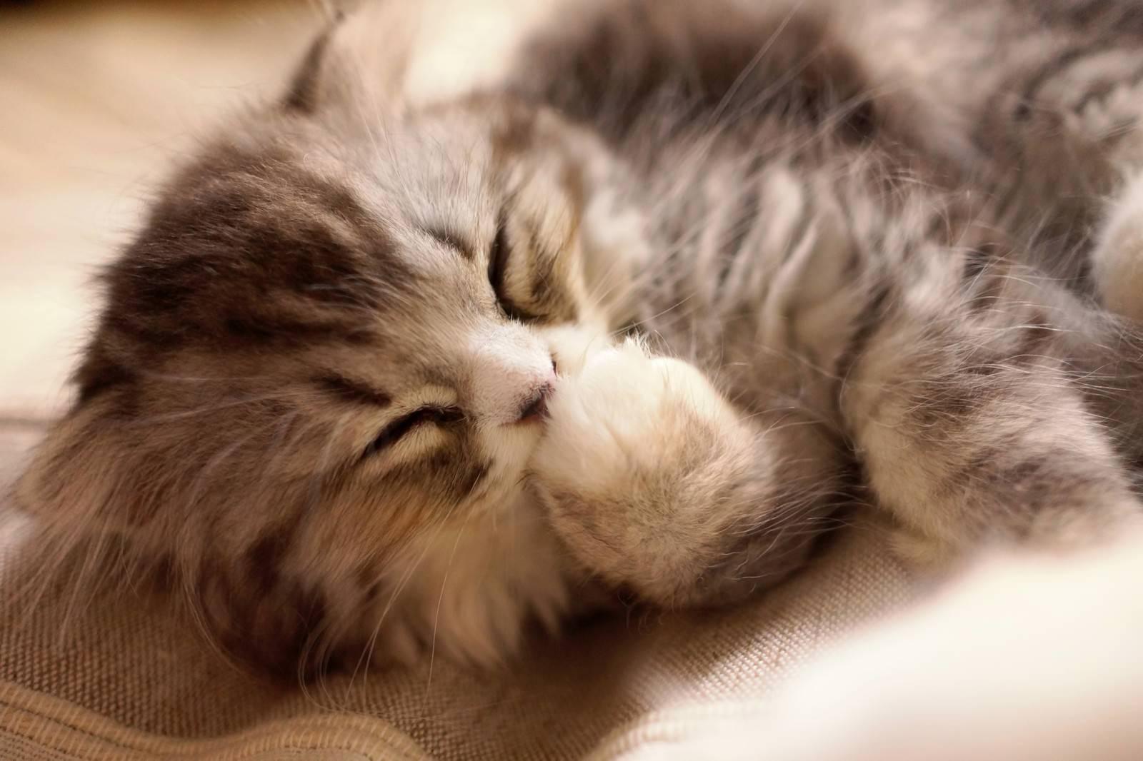 「腕を舐めているオス猫(スコティッシュフォールド)腕を舐めているオス猫(スコティッシュフォールド)」のフリー写真素材を拡大