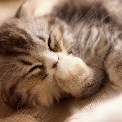 「腕を舐めているオス猫(スコティッシュフォールド)」の写真素材