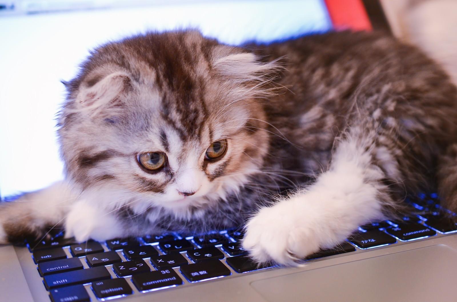 「MacBookのキーボードを占拠してるオス猫(スコティッシュフォールド)MacBookのキーボードを占拠してるオス猫(スコティッシュフォールド)」のフリー写真素材を拡大