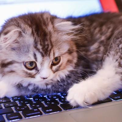 MacBookのキーボードを占拠してるオス猫(スコティッシュフォールド)の写真