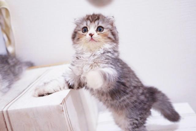ねこじゃらしで遊ぶオス猫(スコティッシュフォールド)の写真