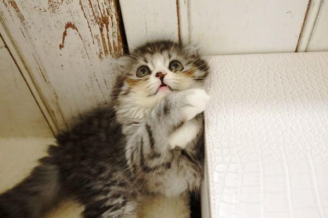 上空の獲物を見つめるオス猫(スコティッシュフォールド)の写真