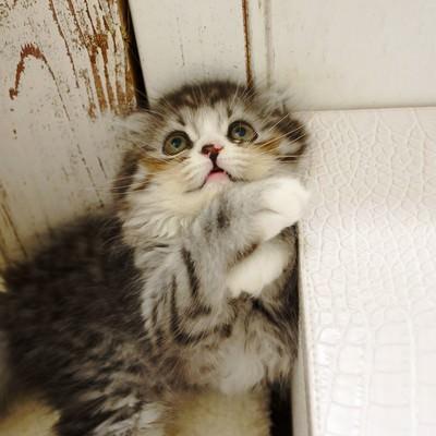 「上空の獲物を見つめるオス猫(スコティッシュフォールド)」の写真素材