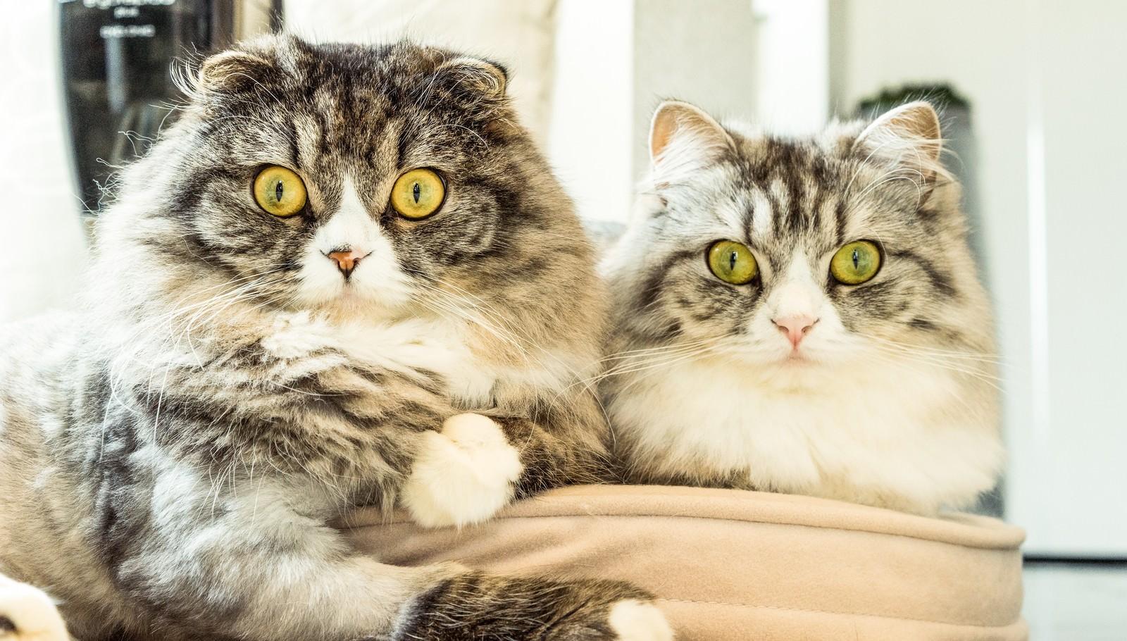 「二匹そろって目を丸くする猫ちゃん(スコティッシュフォールド)」の写真