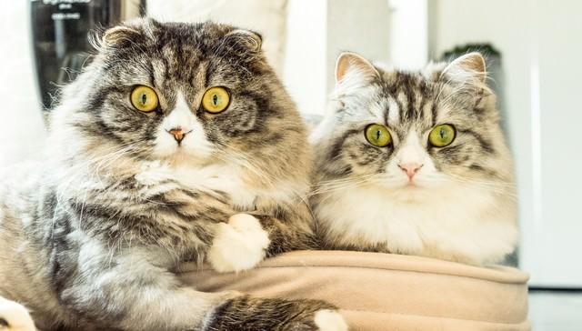 二匹そろって目を丸くする猫ちゃん(スコティッシュフォールド)