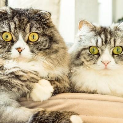 二匹そろって目を丸くする猫ちゃん(スコティッシュフォールド)の写真