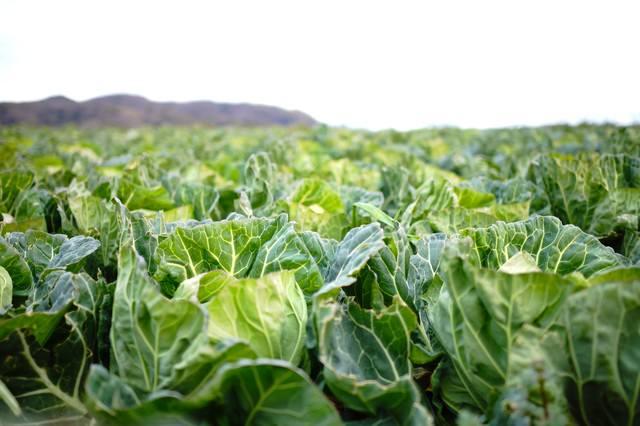 キャベツ畑の写真