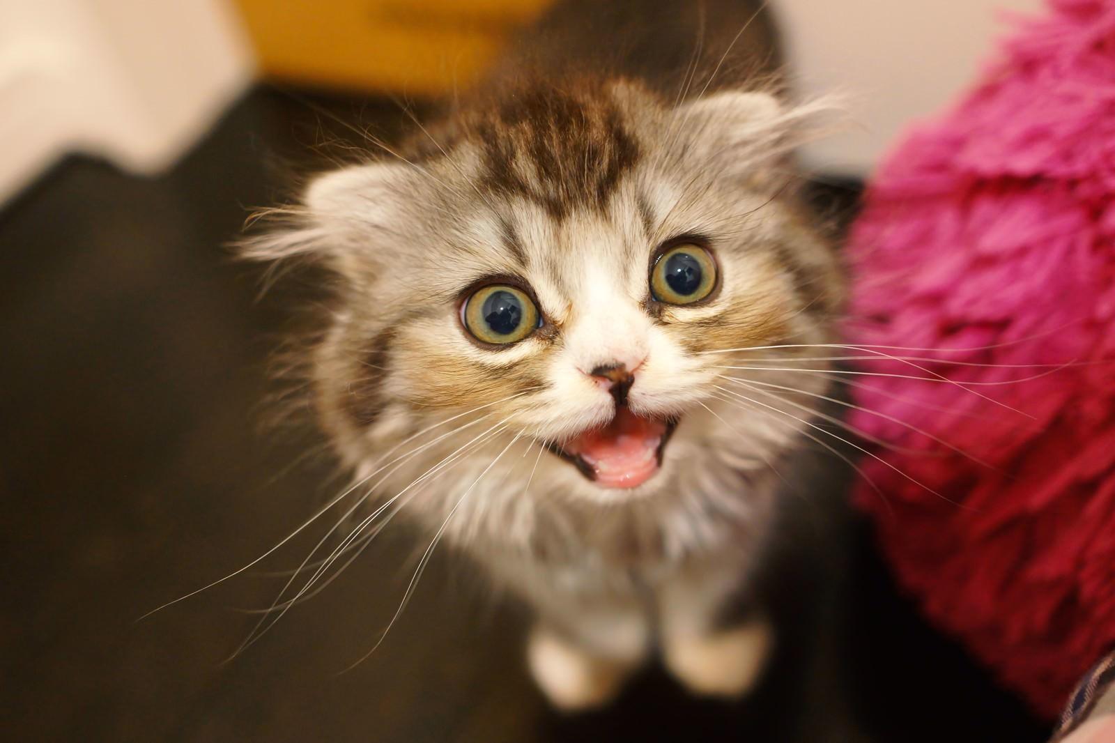 「ミャーと鳴いてるオス猫(スコティッシュフォールド)ミャーと鳴いてるオス猫(スコティッシュフォールド)」のフリー写真素材を拡大