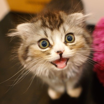 ミャーと鳴いてるオス猫(スコティッシュフォールド)の写真