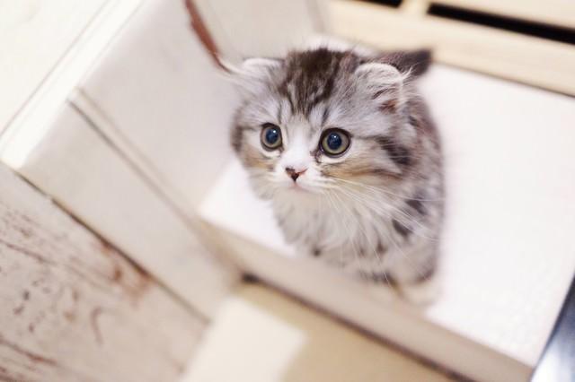 上を見つめるオス猫(スコティッシュフォールド)の写真