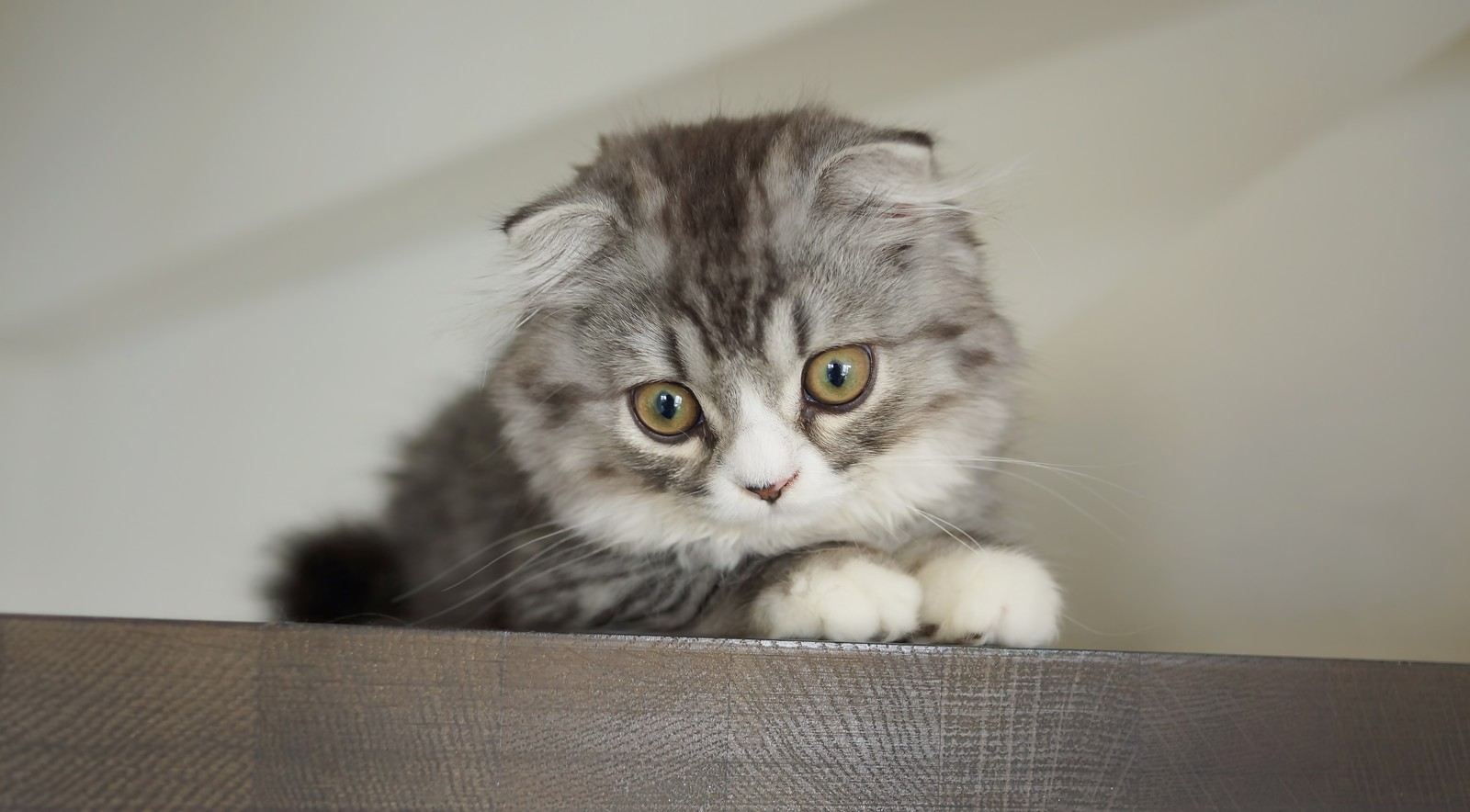 「上から見下ろす猫(スコティッシュフォールド)」の写真