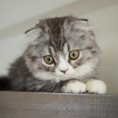 「上から見下ろす猫(スコティッシュフォールド)」の写真素材