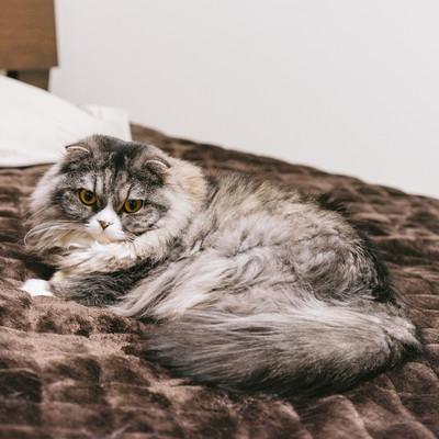 「ベッドは俺のモノと譲らない猫」の写真素材