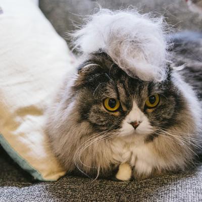 「毛玉モヒカン猫」の写真素材
