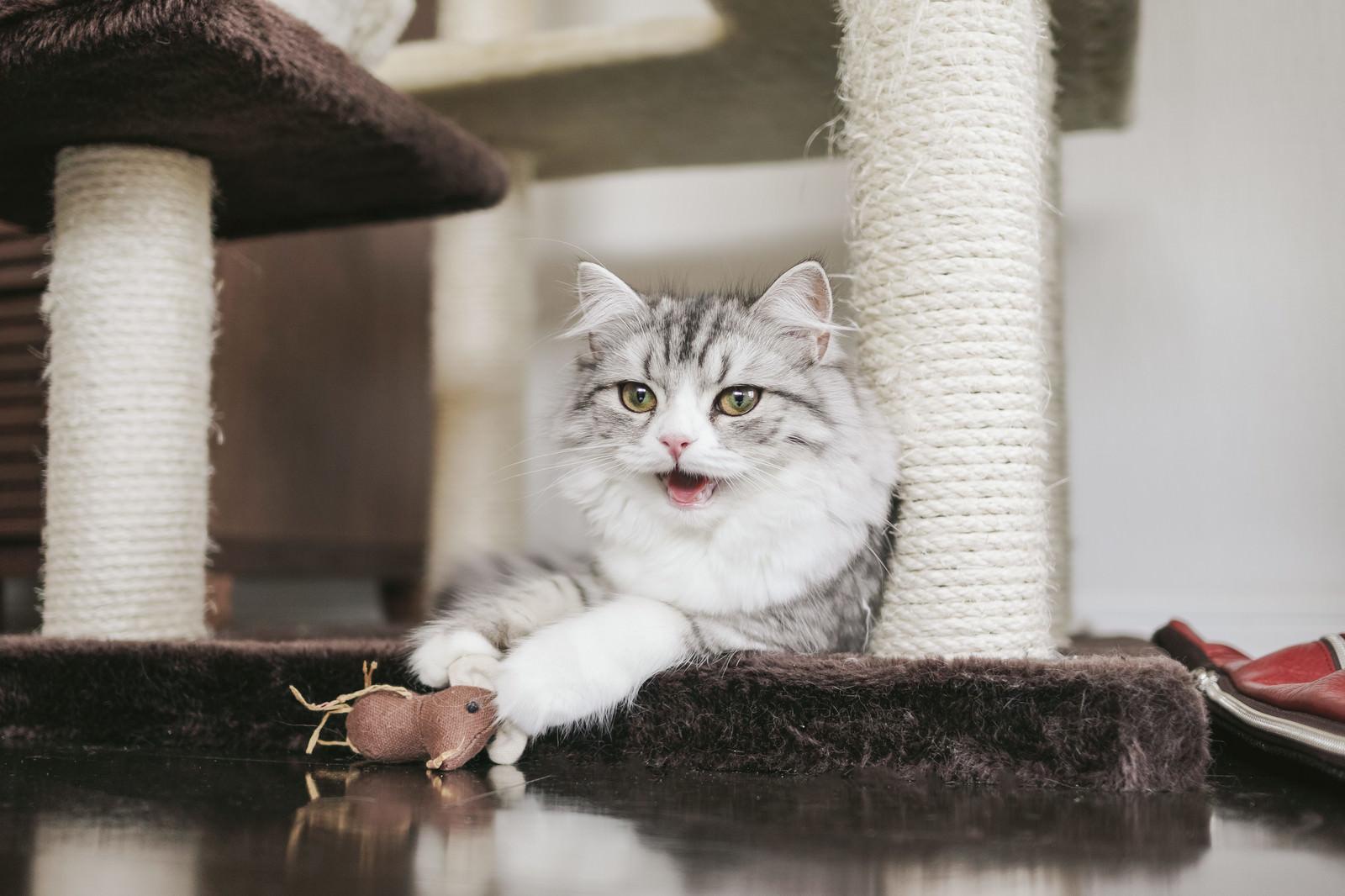 「ネズミのおもちゃで遊び疲れたメス猫(スコティッシュフォールド) | 写真の無料素材・フリー素材 - ぱくたそ」の写真
