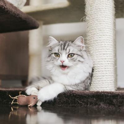 「ネズミのおもちゃで遊び疲れたメス猫(スコティッシュフォールド)」の写真素材