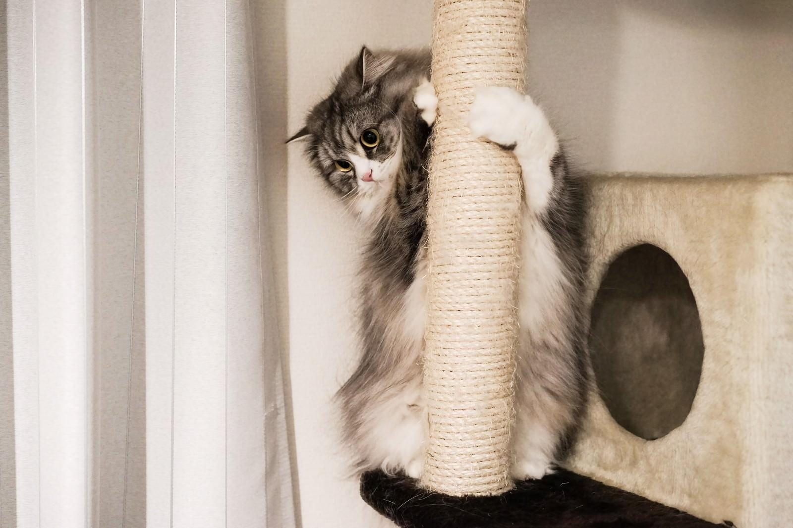 「猫タワーにしがみつくメス猫猫タワーにしがみつくメス猫」のフリー写真素材を拡大