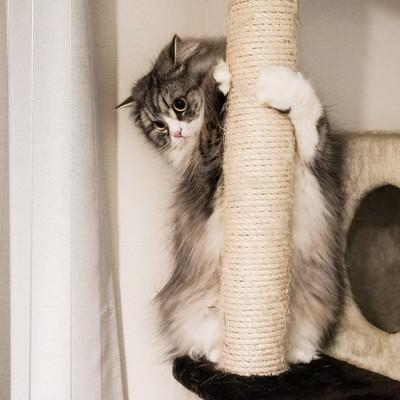 「猫タワーにしがみつくメス猫」の写真素材