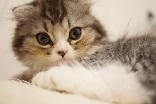 驚いた表情の猫(スコティッシュフォールド)