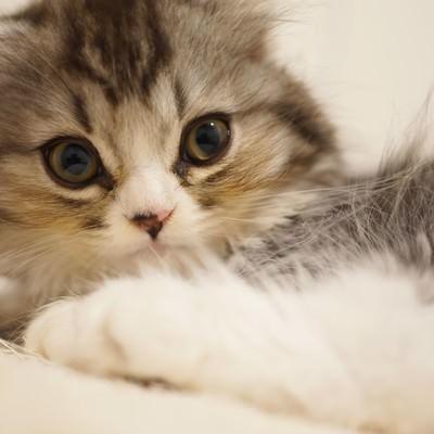 「驚いた表情の猫(スコティッシュフォールド)」の写真素材