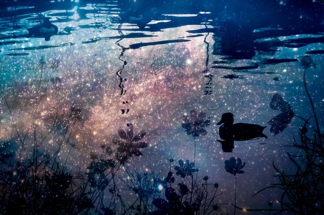 浮かぶ鴨の写真