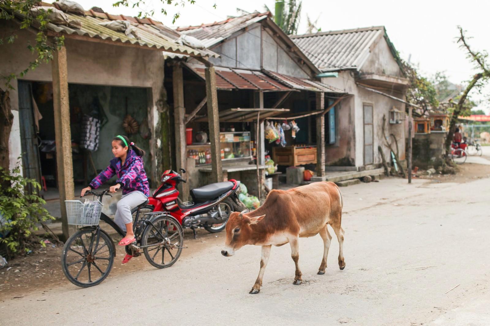 「フエ郊外の村と牛(ベトナム)フエ郊外の村と牛(ベトナム)」のフリー写真素材を拡大