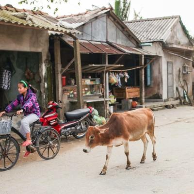 フエ郊外の村と牛(ベトナム)の写真