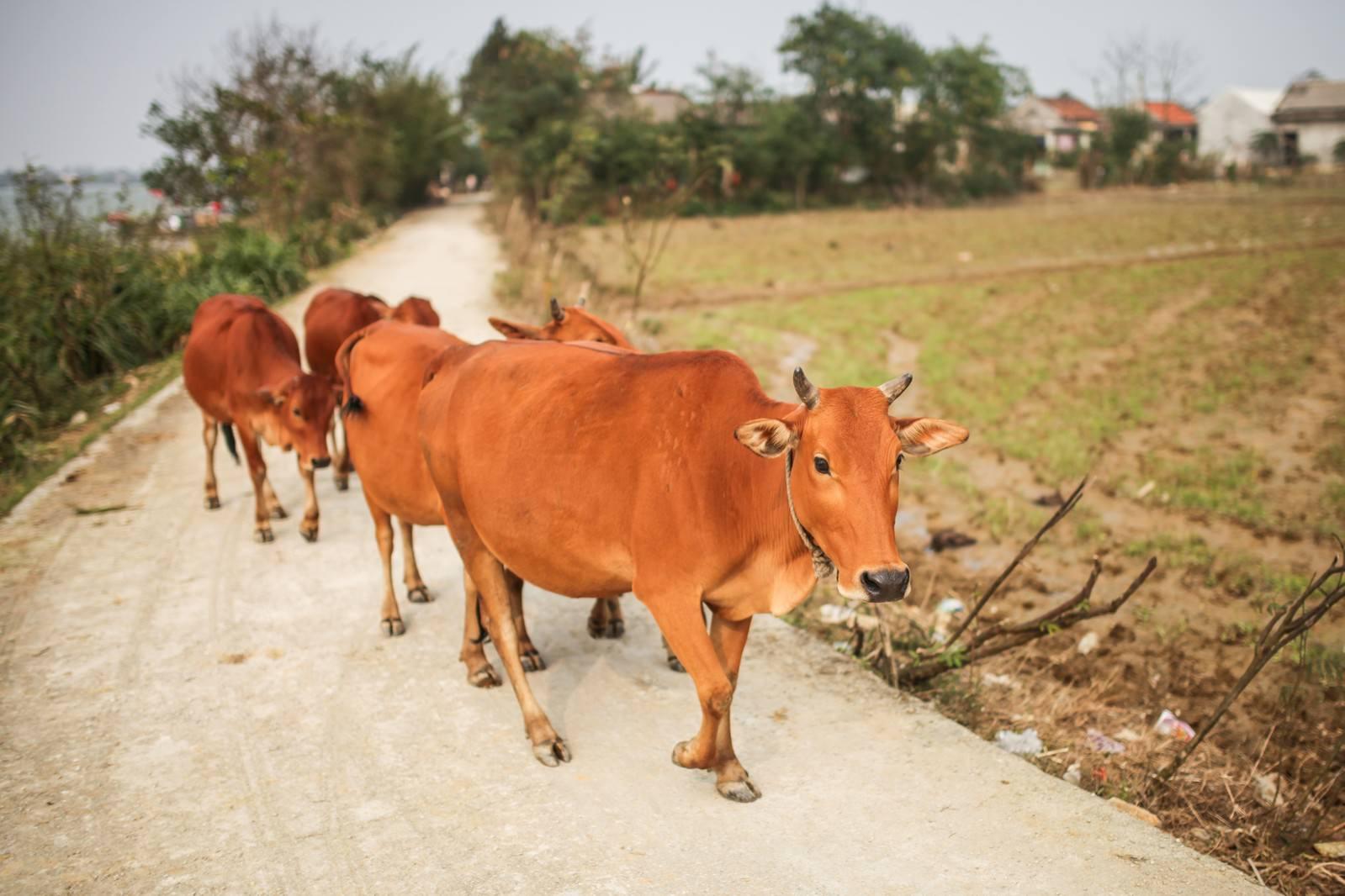 「フエ郊外の牛4頭フエ郊外の牛4頭」のフリー写真素材を拡大