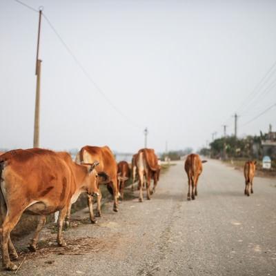 「ベトナムのフエ郊外を歩く牛」の写真素材