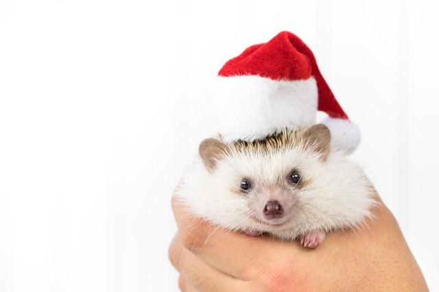 「サンタ帽をかぶったハリネズミ」のフリー写真素材